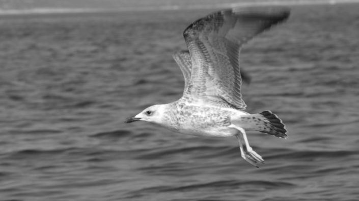 You are not an ordinary gull